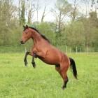Je paard beleren: Vaststaan
